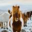 cavalli islanda