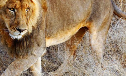 Lion- viaggio volontariato botswana