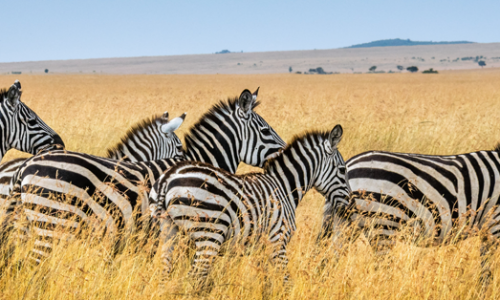 zebre botswana